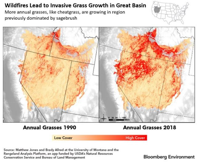 Wildfires lead to invasive grass growth.