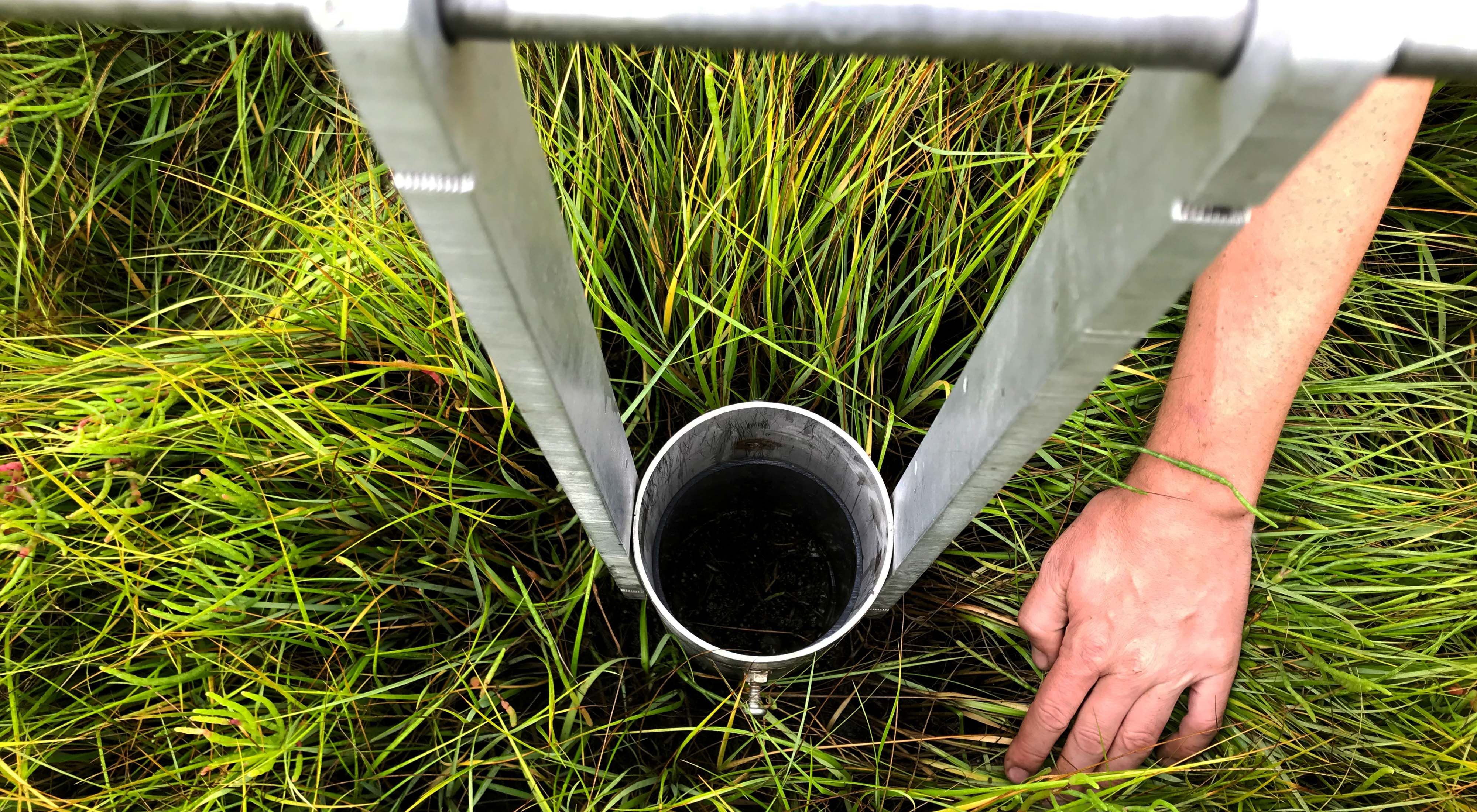 View looking down on a metal cylinder cutting a core sample in salt marsh grass and soil.