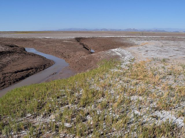 Salt grass is returning to the upper estuary in the Colorado River Delta.