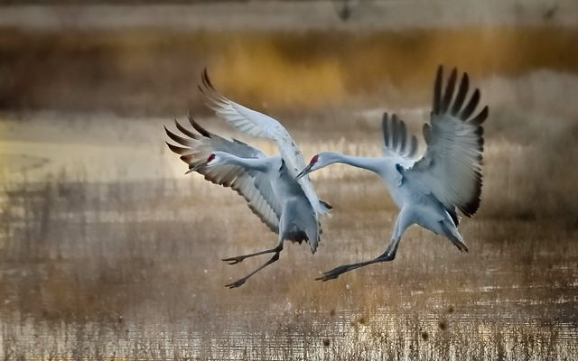 Two large, light gray birds come in for a landing on the water with wings outstretched and legs ready to touch the water.