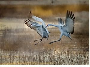 Two cranes at Bosque Del Apache National Wildlife Refuge in San Antonio, New Mexico.