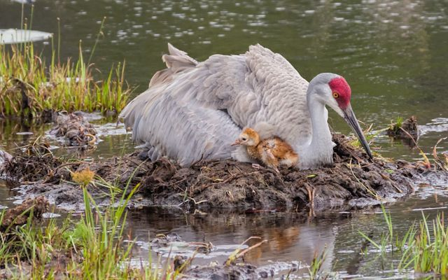 A large gray bird with a red crown nests in an open wetland with a small chick poking out from under its mother.