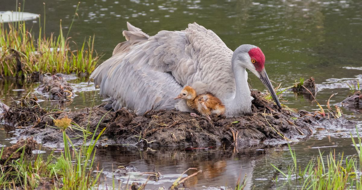 Sandhill Crane and Chick.