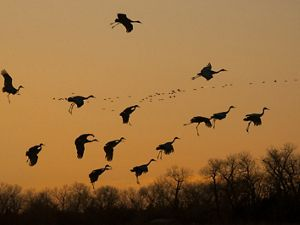 Sandhill cranes coming to roost on the river at sunset, Platte River Prairies, Nebraska.