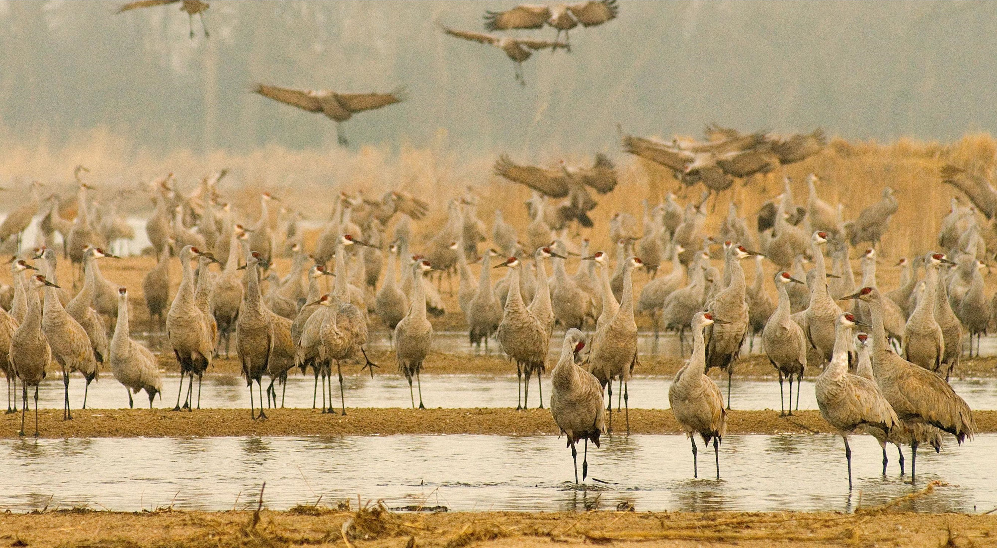 Hundreds of large white sandhill cranes with red head markings wade in shallow water.