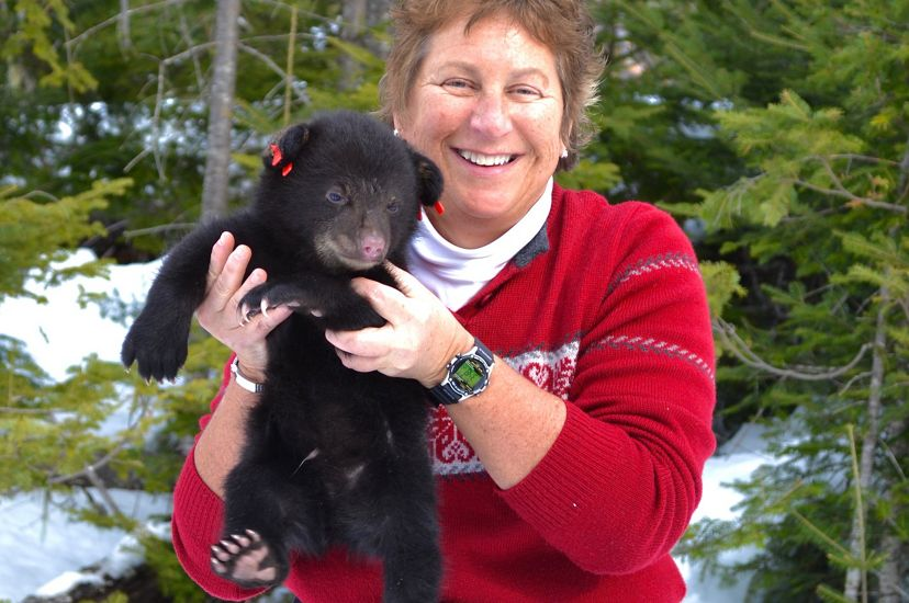 Biologist Sandy Ritchie holds a bear cub during a den visit with the Maine Department of Inland Fisheries and Wildlife Bear Study Program.