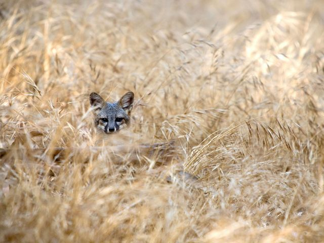 A Santa Cruz Island fox looks on from the grass