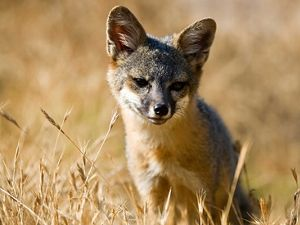 A Young Santa Cruz Island fox