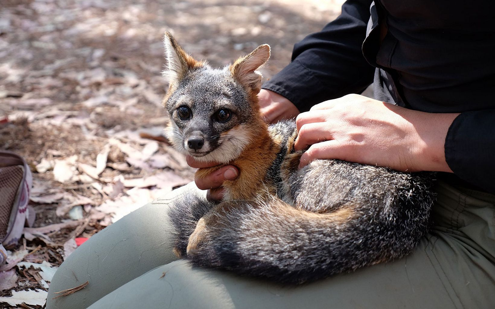 A TNC employee holds a Santa Cruz Island Fox