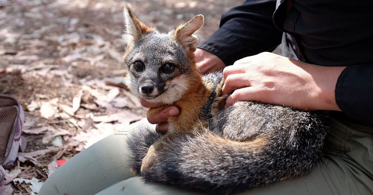 A Nature Conservancy Employee holds a Santa Cruz Island fox