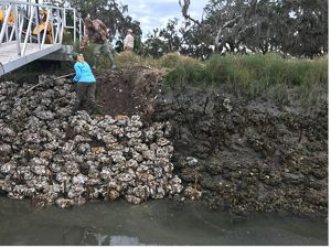 creating a living shoreline on Sapelo Island, GA