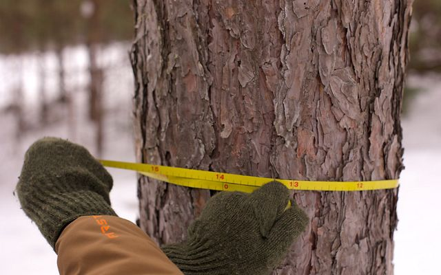 Two green gloved hands measuring the circumference of a pine tree in winter.