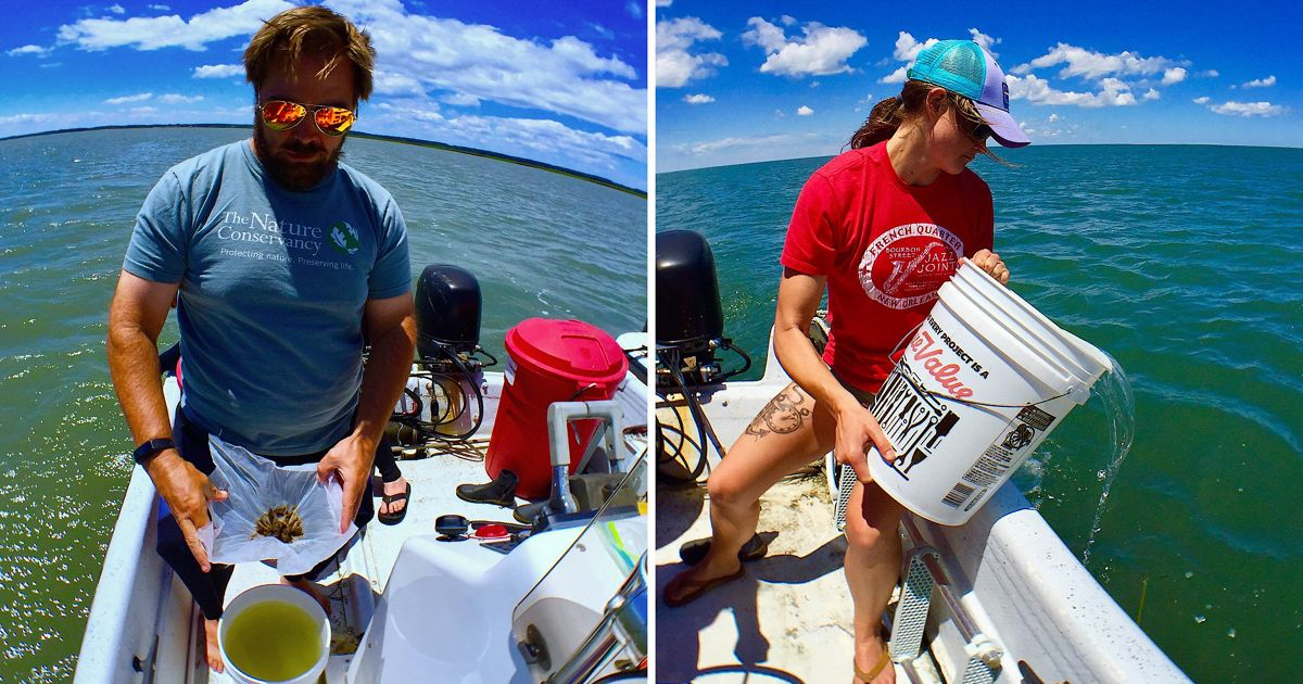 Bo Lusk holds open a bag containing millions of bay scallop larvae.  Britt Gonzalez releases the larvae into the seagrass meadow.
