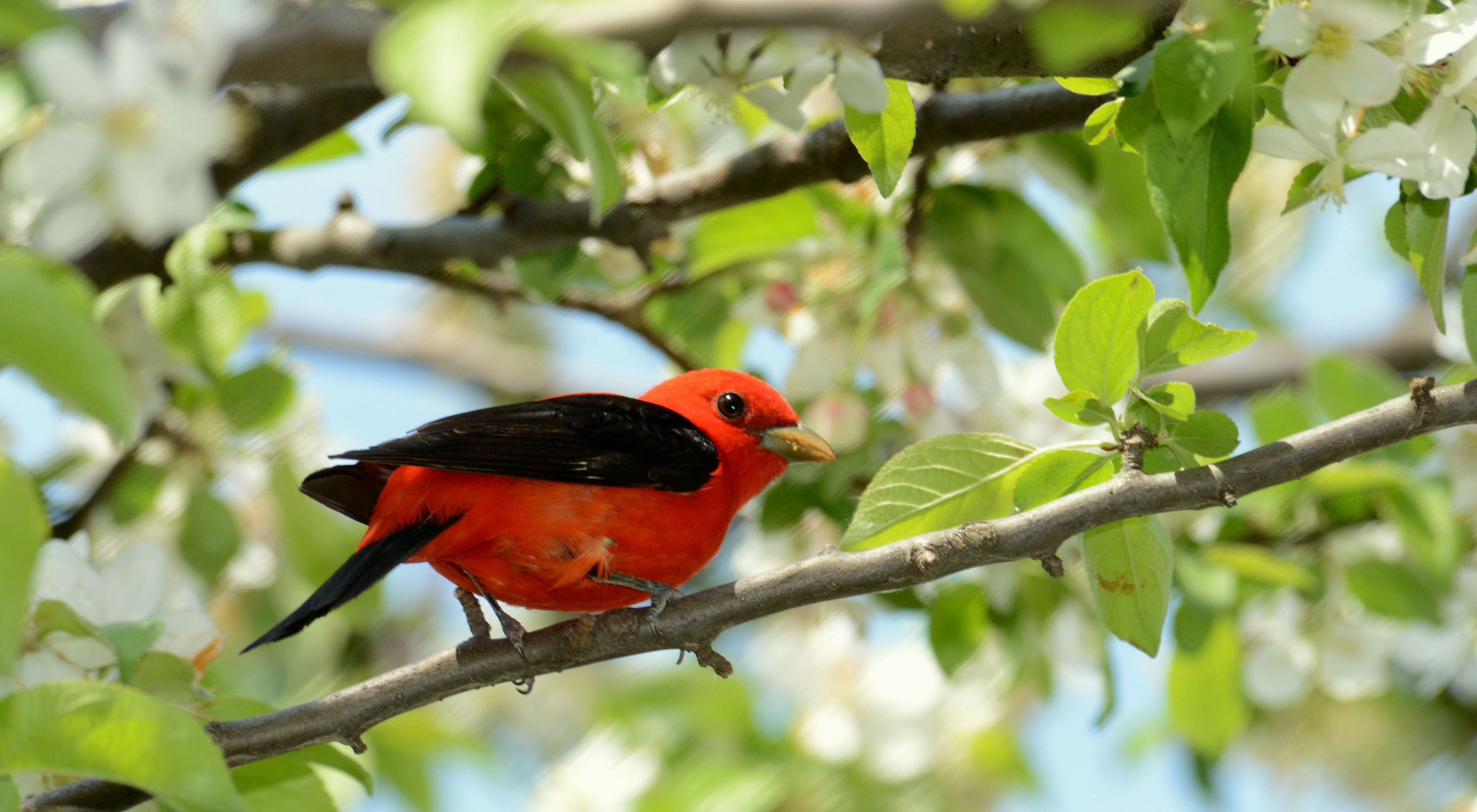 A bright red bird with black wings perching on a tree with white flowers.