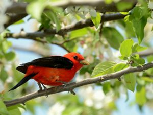 Red bird with black markings perched on a branch in green forest.