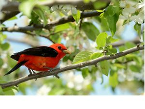 A scarlet tanager--red with black wings--perched on a branch in green forest.