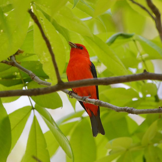 An orange bird with black wings perches in a tree.