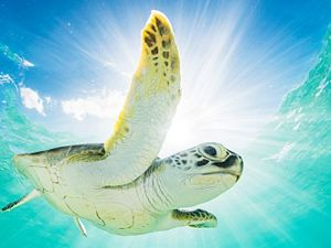 green sea turtle swims near water surface with blue sky peeking through above