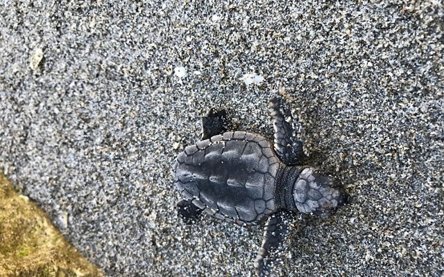 Loggerhead sea turtle hatchling making its way into the ocean.