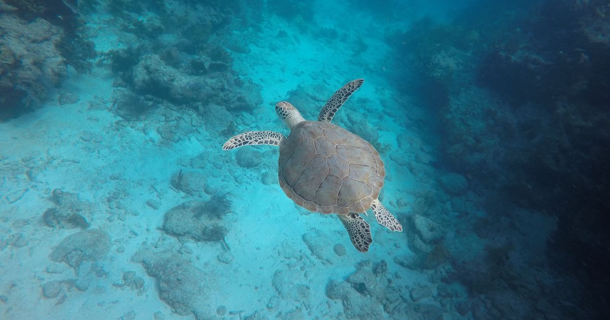 A large turtle swims alone through turquoise water with rocks shown underneath