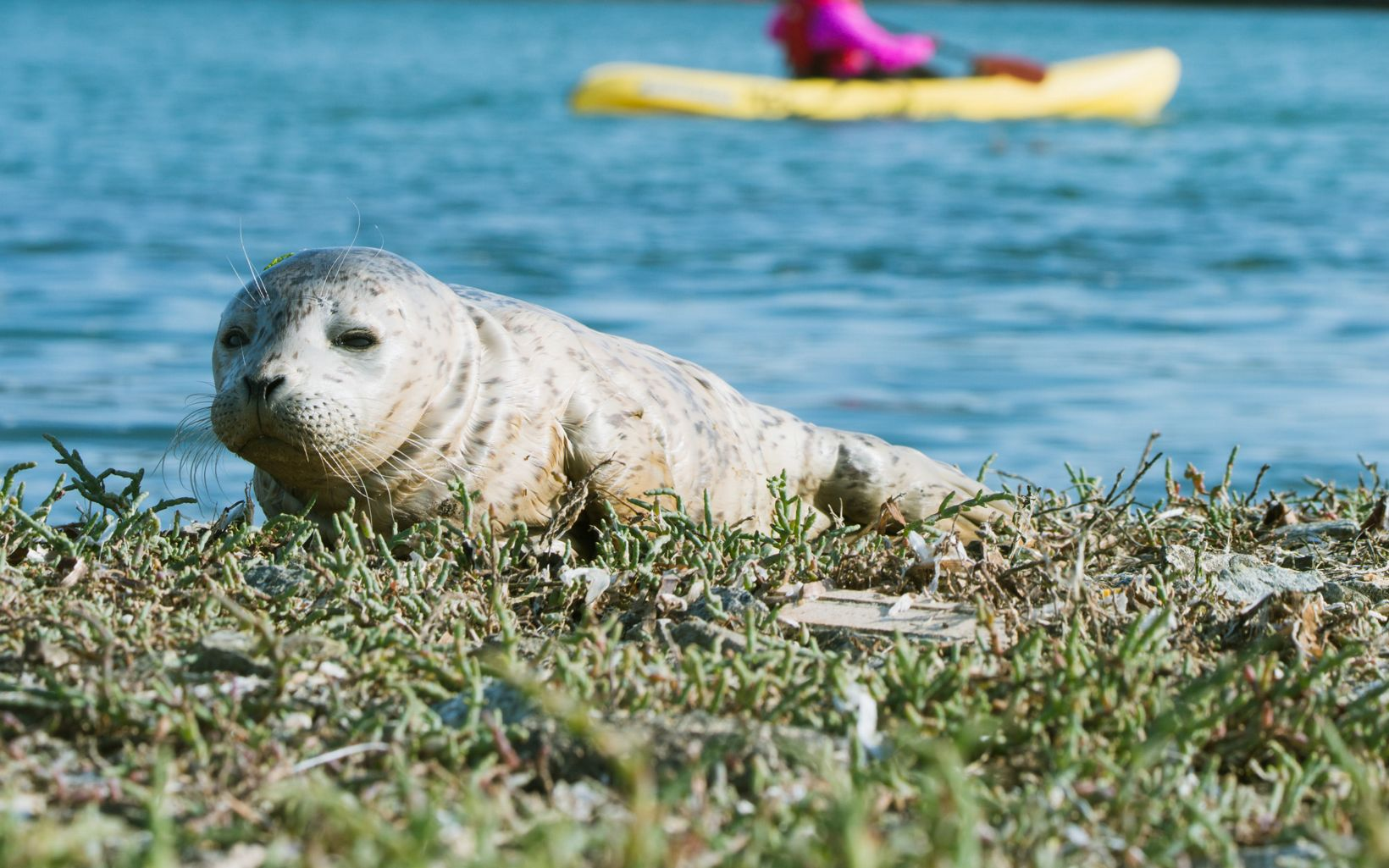 A kayaker passes by a lone harbor seal pup (Phoca vitulina) resting on the banks of the lower Elkhorn Slough in Monterey County, California