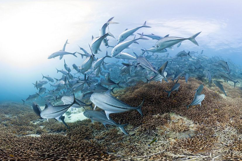 Underwater photo of a school of fish swimming above a reef