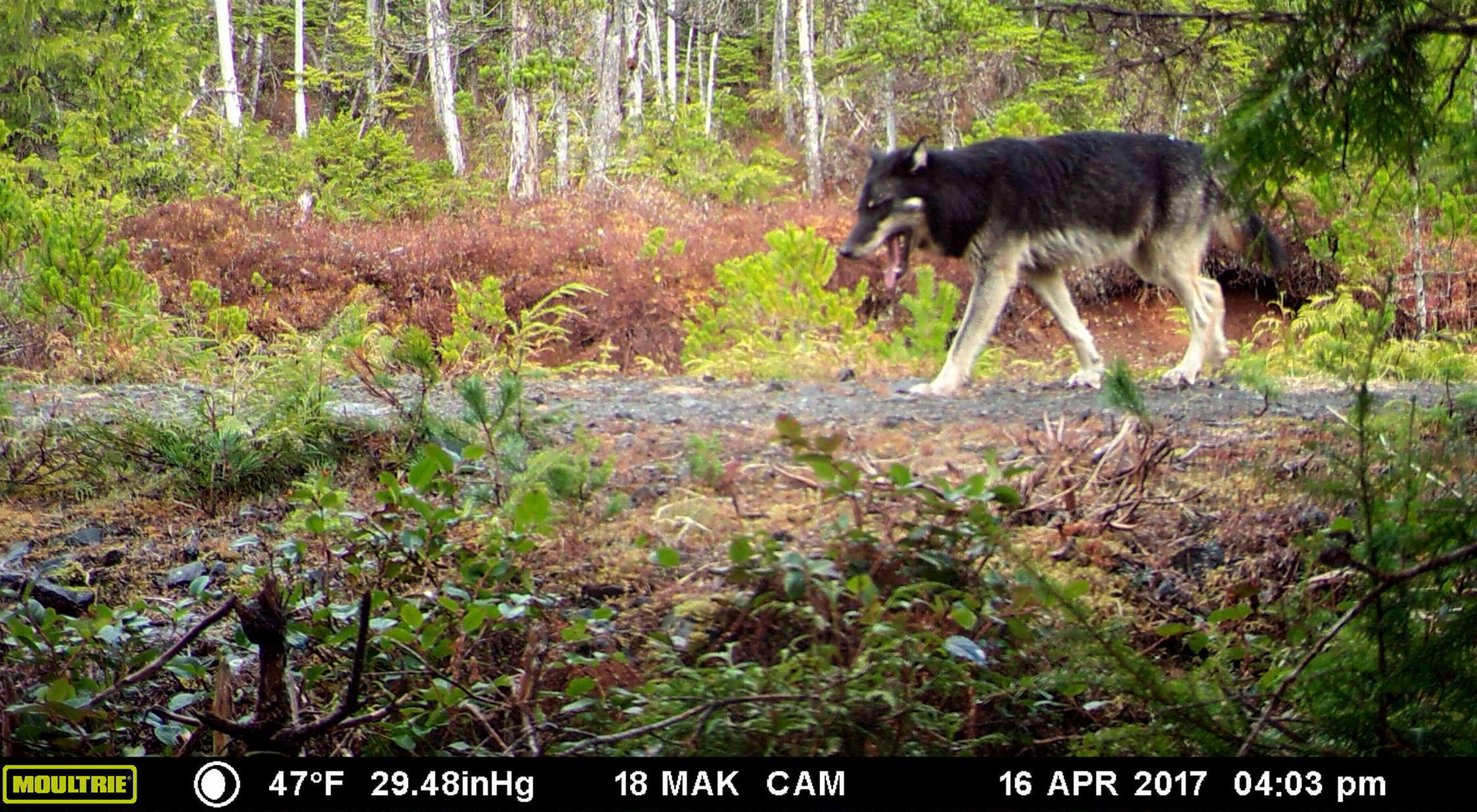 Lead wolf captured on a trail camera on Prince of Wales Island in Alaska.
