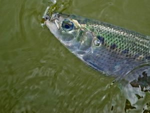 A fish head boasts hues of green and blue.