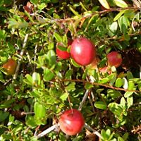 Red cranberries are nestled among green branches.