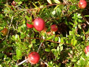 Green leaves surround plump, red cranberries.