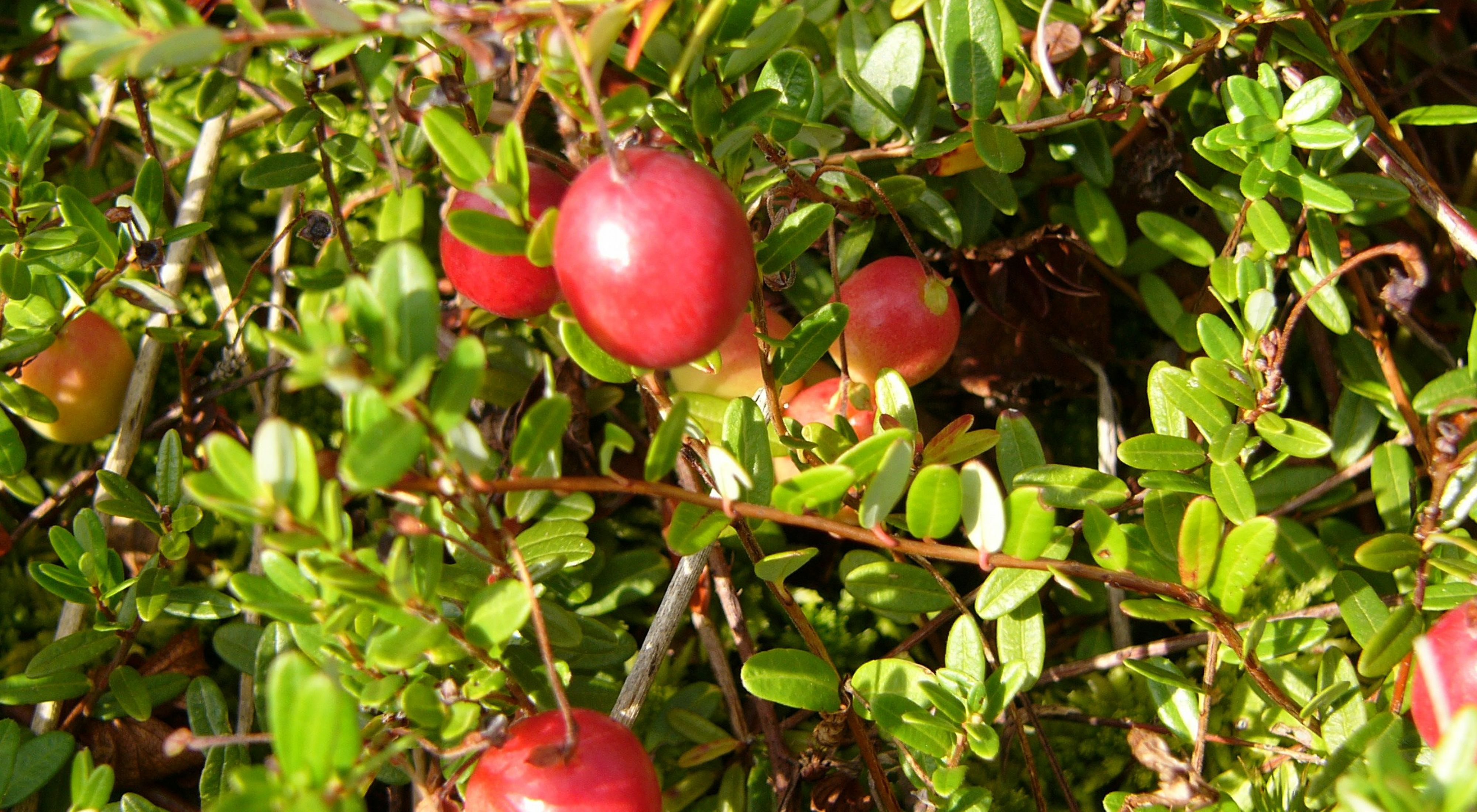 A collection of cranberries surrounded by leaves.
