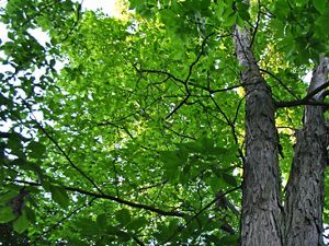 Looking up into the canopy of a Shagbark Hickory tree.