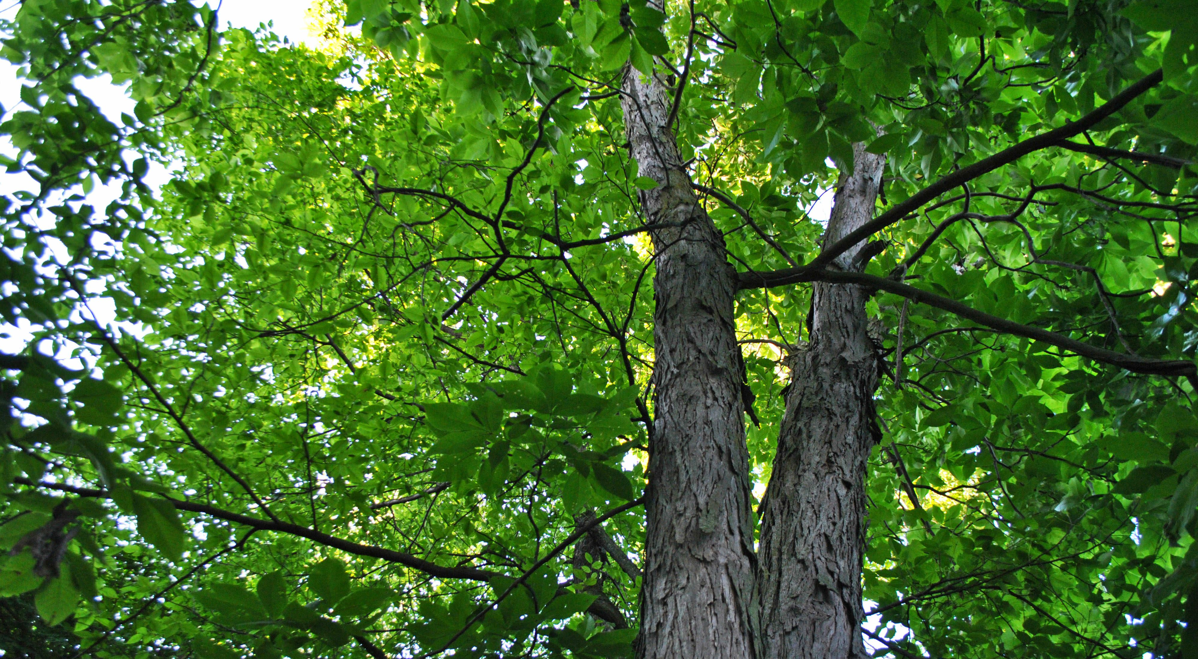 Looking up the trunk of a shagbark hickory tree.