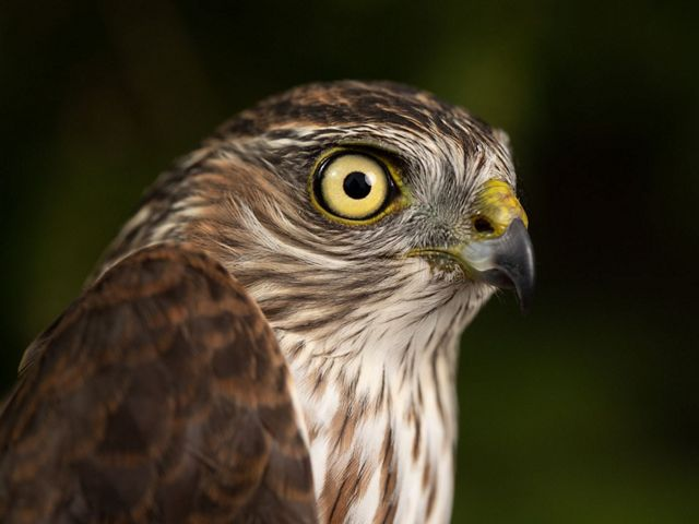 An adult sharp-shinned hawk with yellow eyes sits center screen.