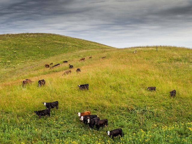 Cattle on a utility prairie