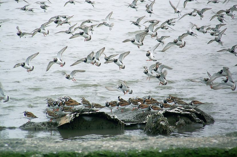 A flock of white birds with black throats in flight over the shoreline of the Delaware Bay.  Beneath them a group of birds stand together on a clump of rocks in the shallow water.
