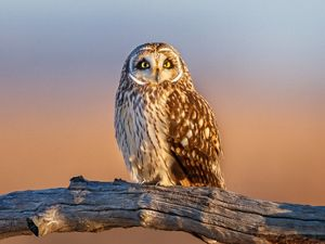 Short-eared owl perched on a tree limb looks straight at the camera with the pinkish hues of sunrise glowing in the background