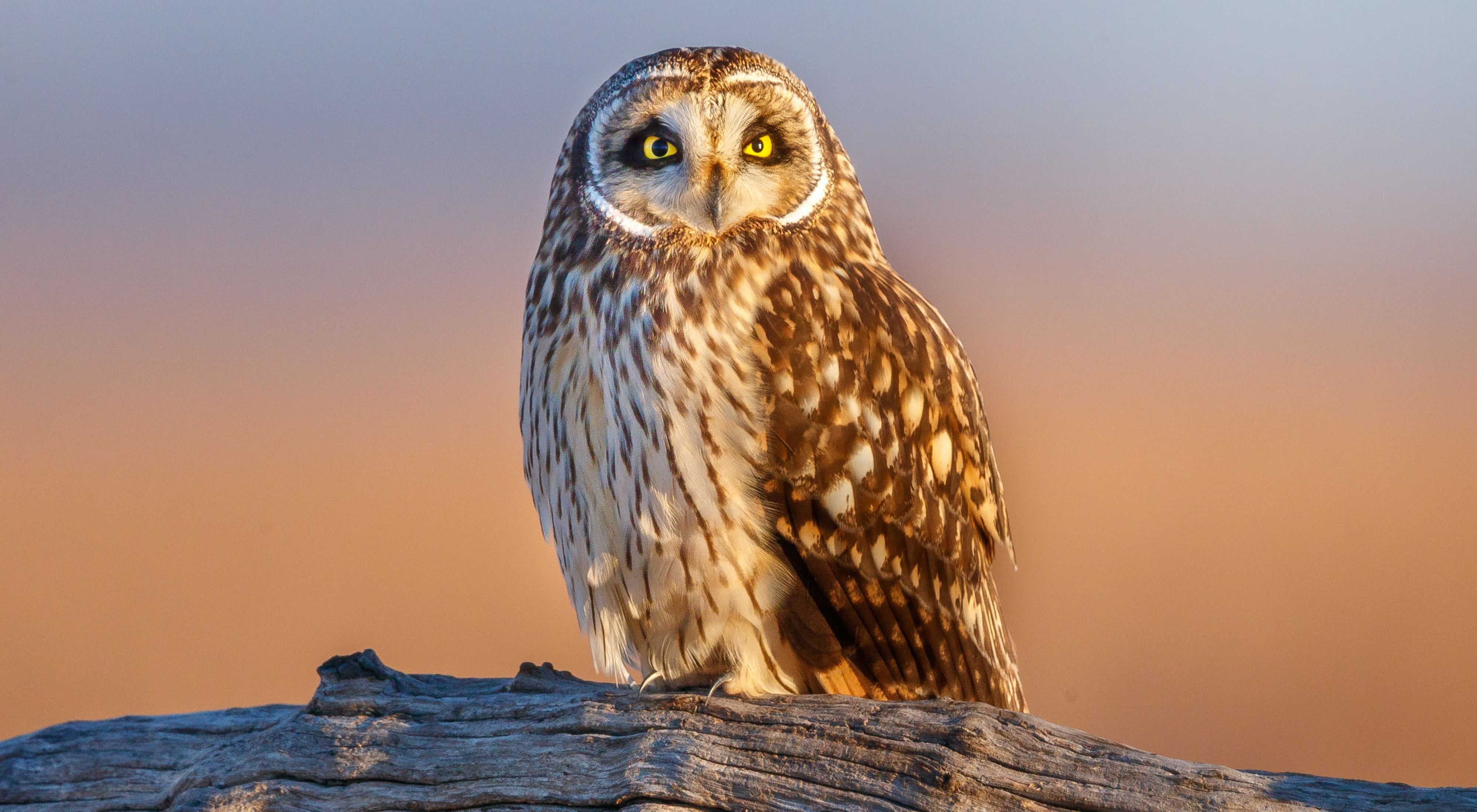 A short-eared owl rests on a log at sunset.