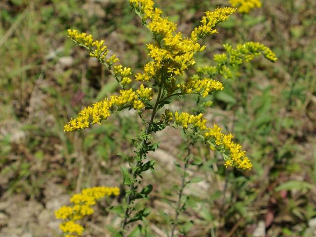 Close-up of plant with small bright yellow clustered flowers.
