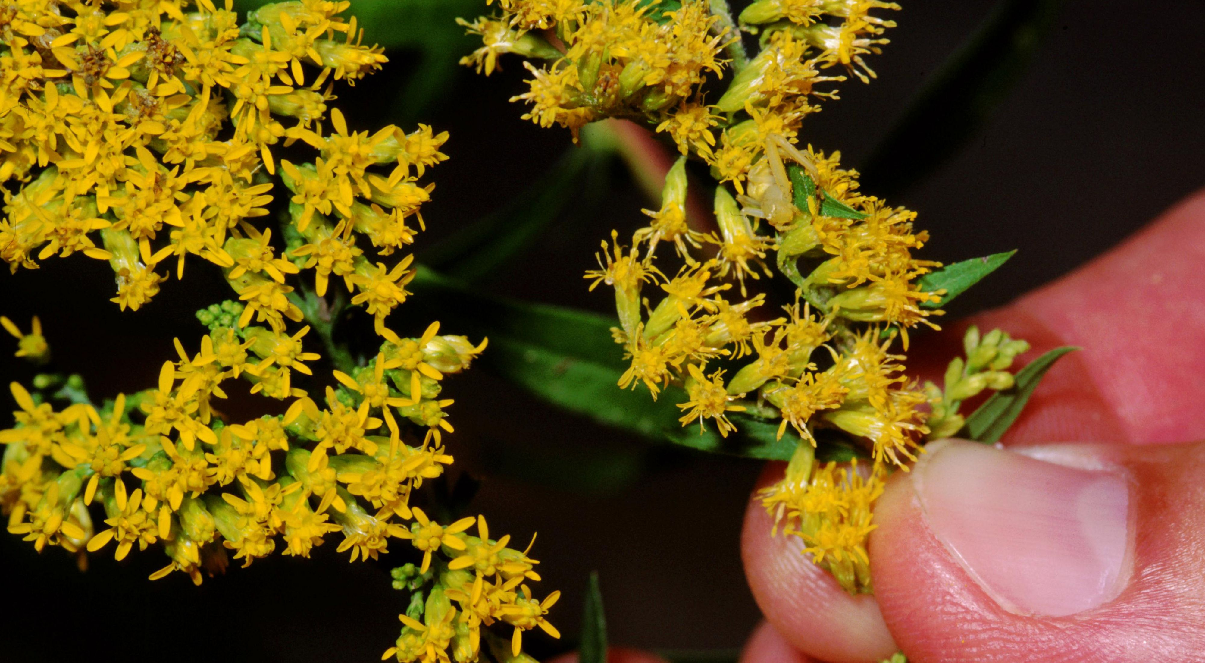 Close-up of slender plant with bright yellow clustered flowers.