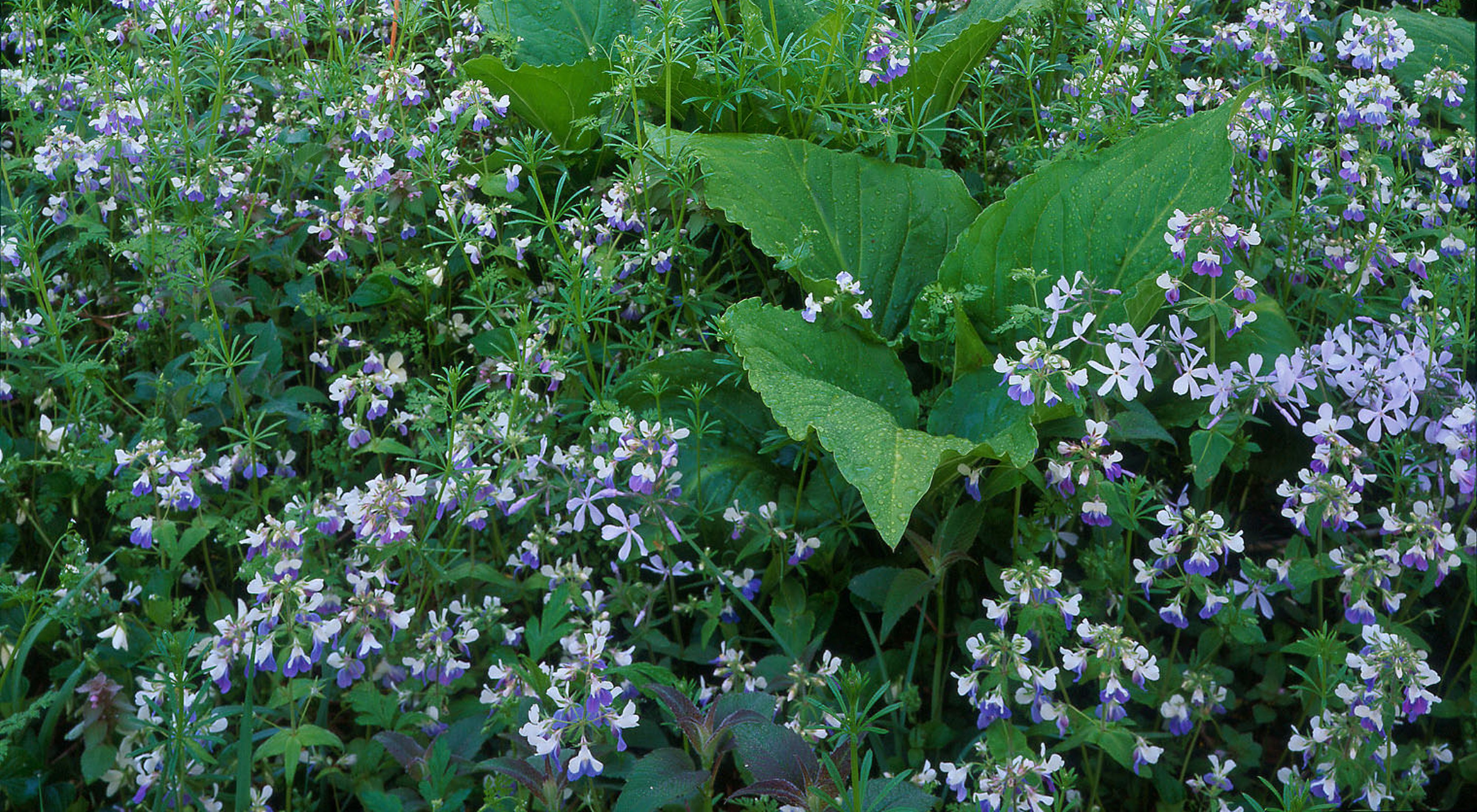 A sea of bluish flowers interrupted by large-leafed plants on forest floor.