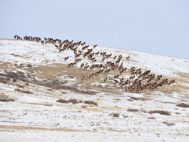 A snowy hillside dotted with hundreds of elk.