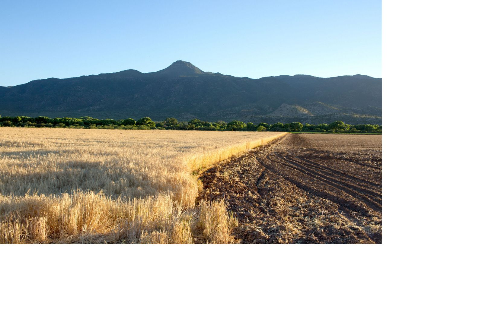 Barley being grown at the Shield Ranch in Arizona to be malted at Sinagua Malt in the town of Camp Verde.