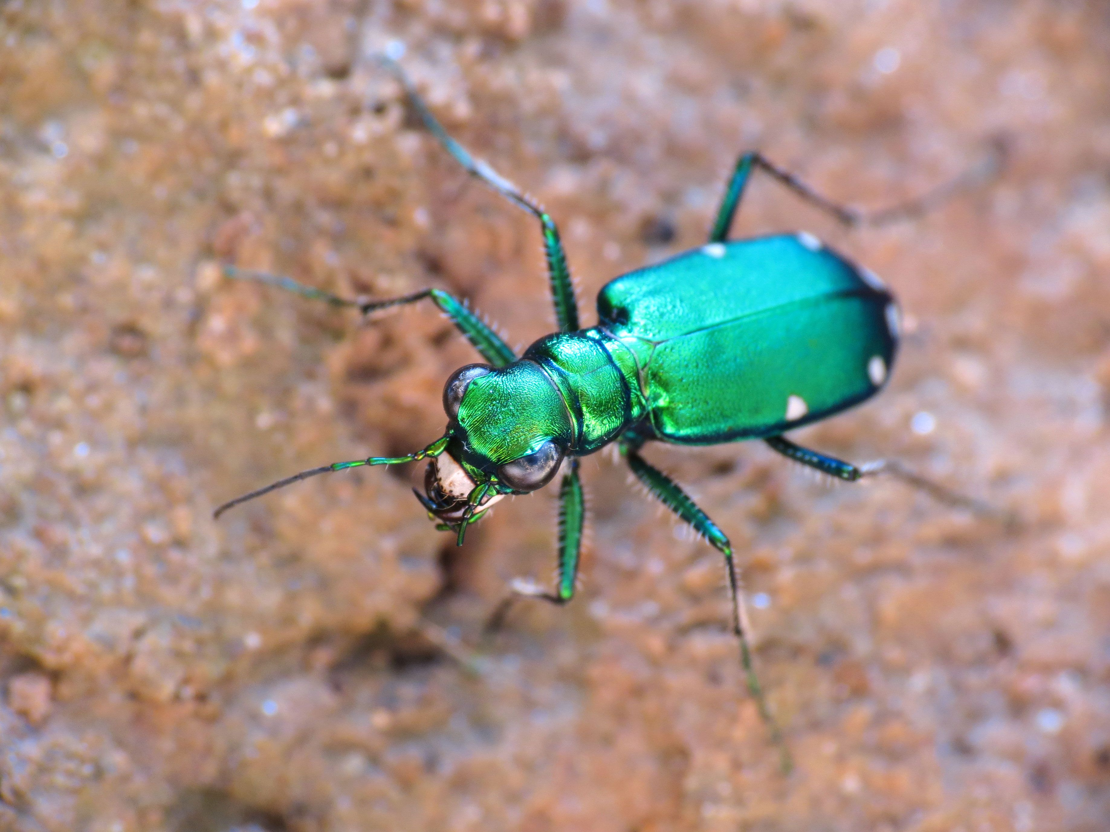 A spotted tiger beetle climbing up bark.