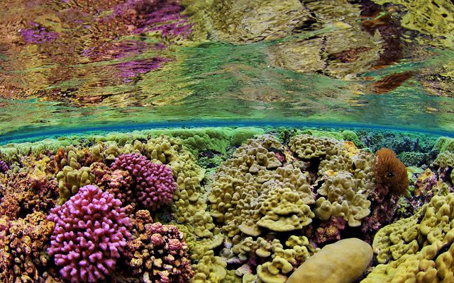purple, pink, yellow and orange corals are seen underwater with surface of water at top of image