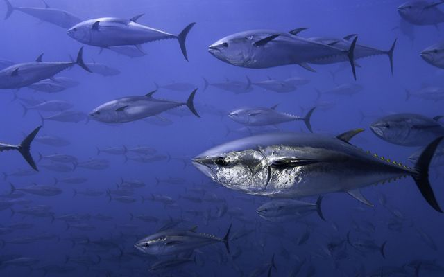 underwater view of dozens of large silver fish swimming in dark blue water