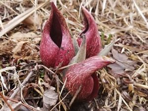 Three dark red plants emerging from the ground.