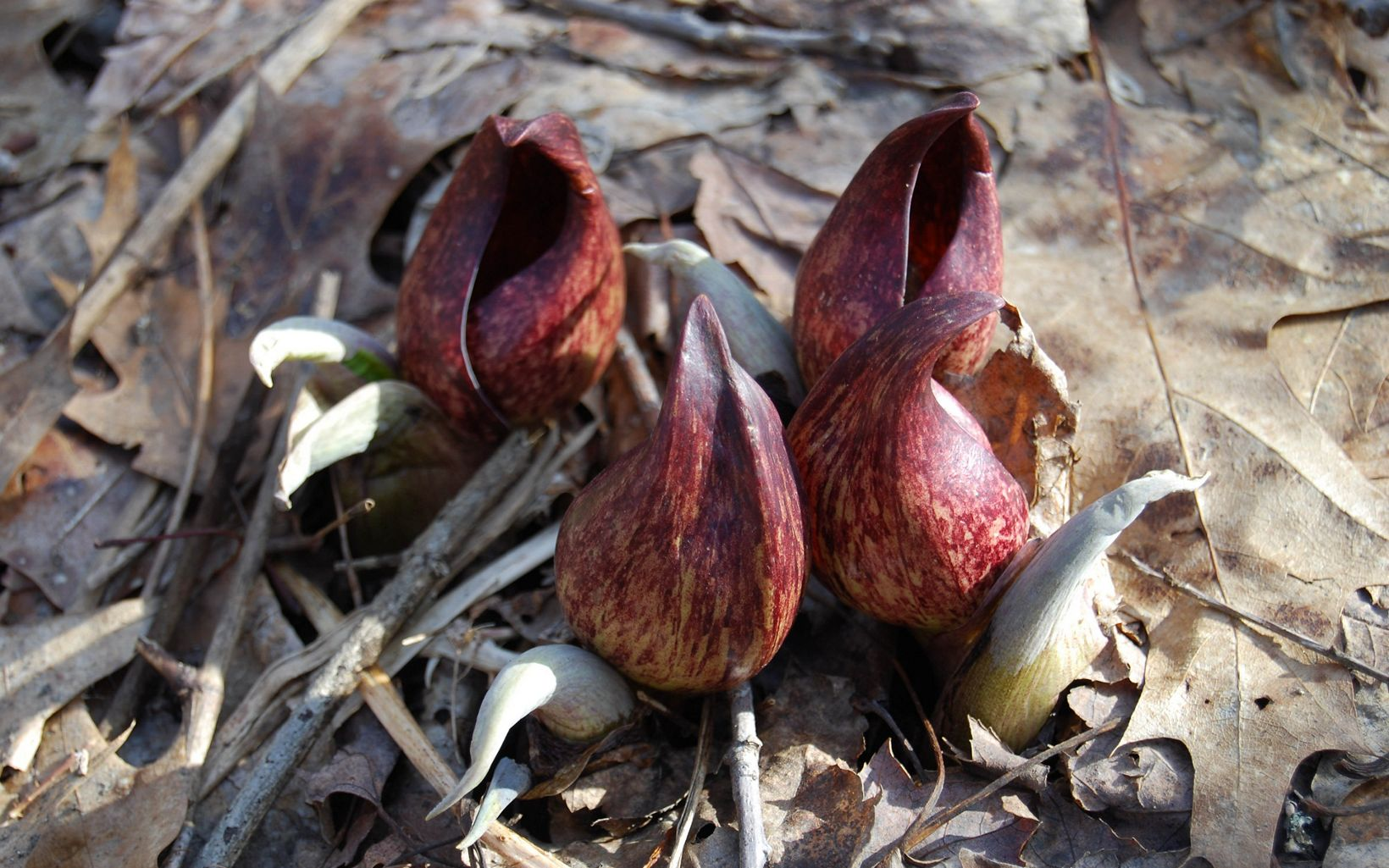 Skunk cabbage emerging in late winter.