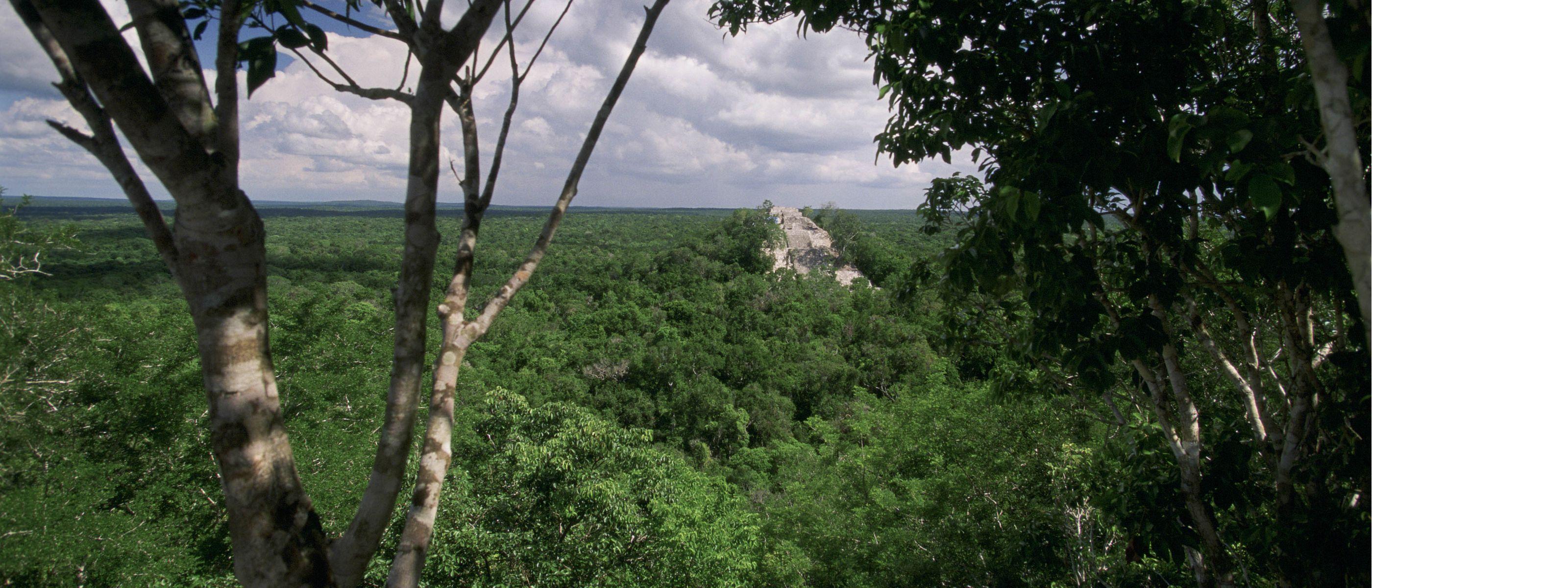 Maya forest