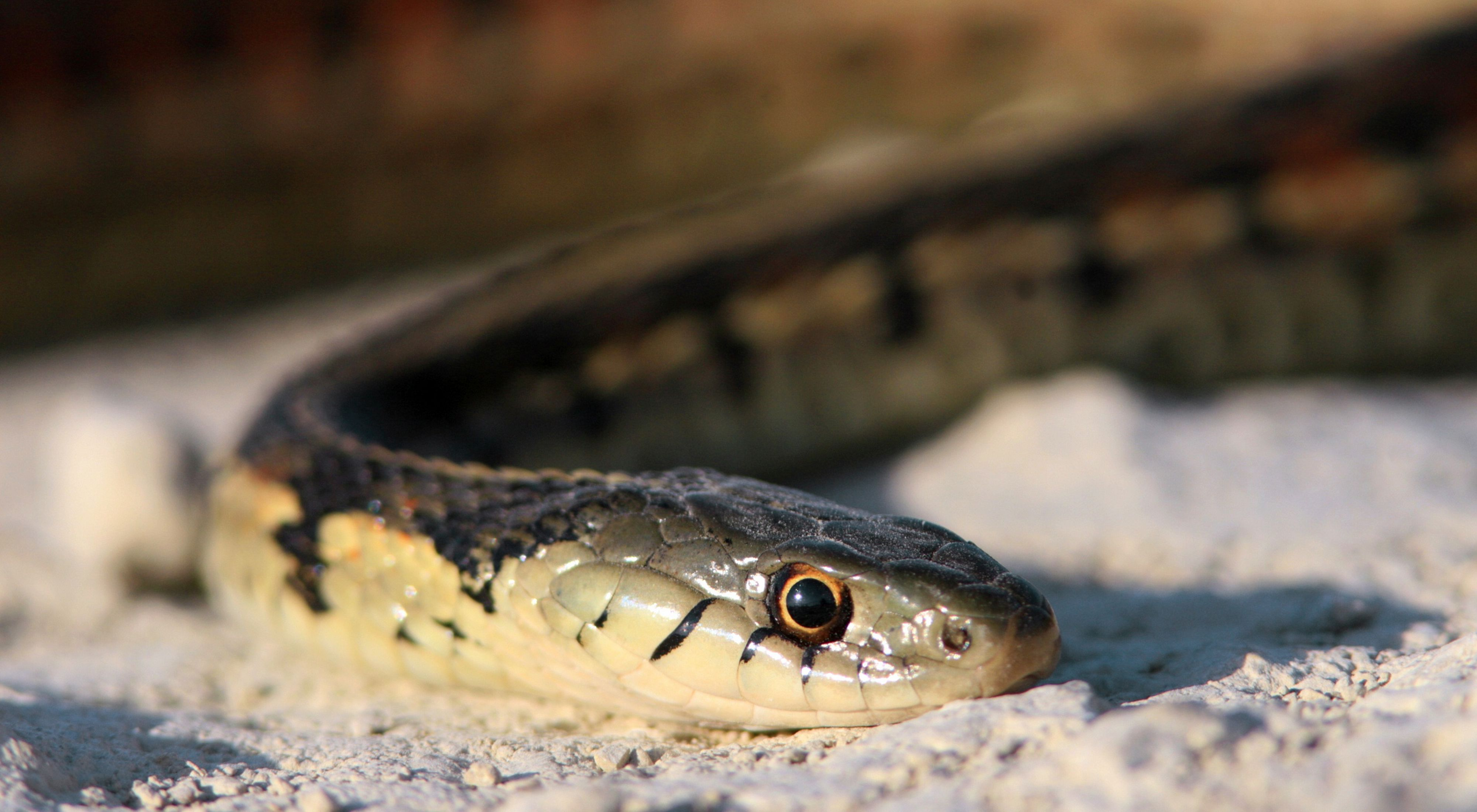 A close-up view of a garter snake, showing the head.
